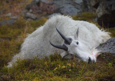 Fallen-Goat